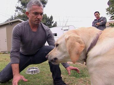 César millán en problemas con un Labrador - El encantador de perros