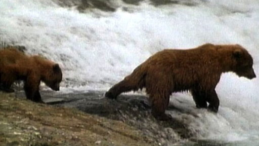 Mama Grizzly Teaches Cubs to Fish