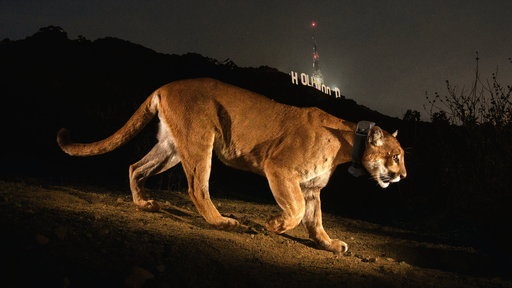 Chasing a Mountain Lion in Hollywood's Urban Jungle