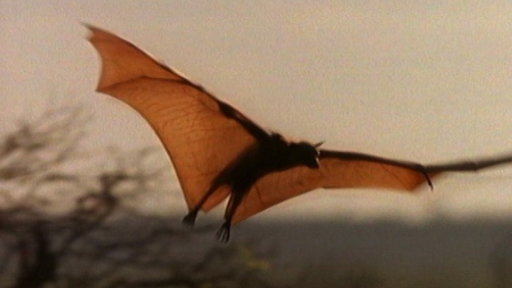 Meet the World's Biggest Bat