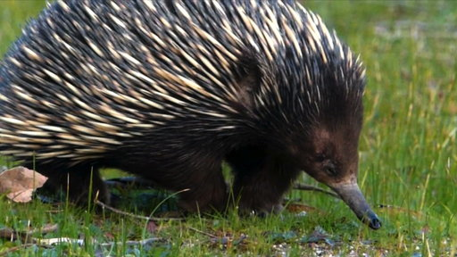 Prickly Love: Echidnas Caught Mating
