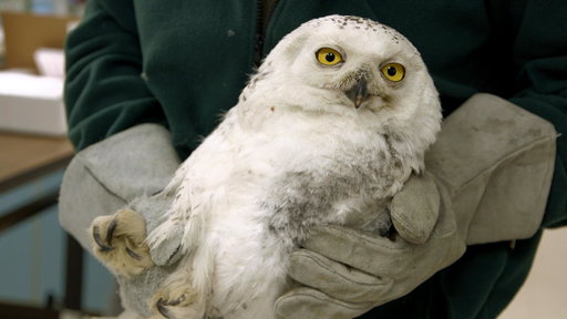 Injured D.C. Snowy Owl Gets