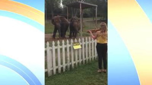 2 Elephants Sway As Violinist Plays Bach