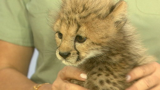 Meet Machozi, the Baby Cheetah You Helped Name!