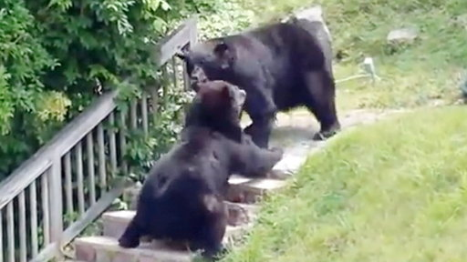 Bears Caught On Camera Brawling in NJ Street