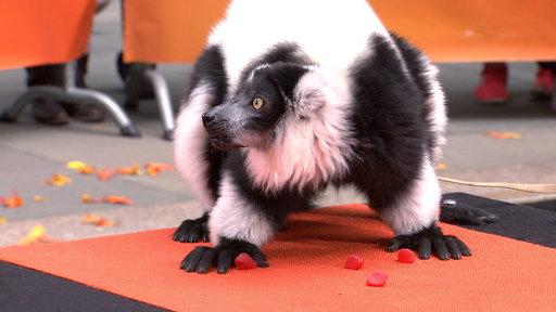 'Ghost' Lemur, Eagle Owl Visit TODAY Plaza